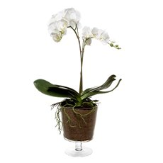 Phalaenopsis Orchid 17x Flowers in Glass Pot (91cmH)