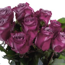 Imported Premium A Fresh Rose Bunched 10 Deep Purple (50cm)