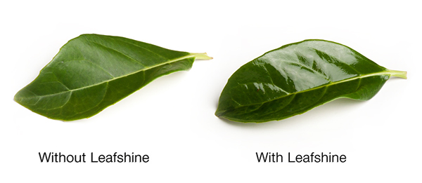 A comparison of leaves with and without leafshine