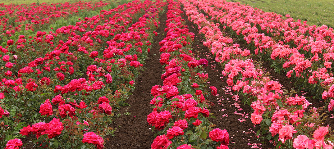 Imported roses or locally grown
