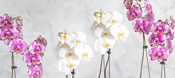 Phalaenopsis Fresh Orchids
