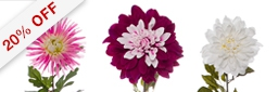 New Dahlia Spray Value Pack