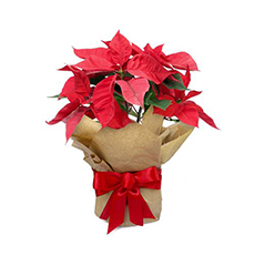 - Interflora Santas Favourite Poinsettia