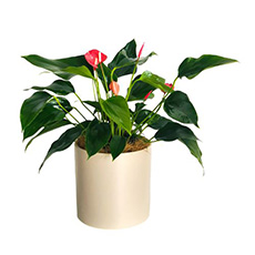 - Interflora Flamingo Flower Pot