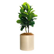 - Interflora Perfect Fiddle Leaf Fig Pot
