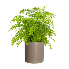 - Interflora Venus Hair Fern Pot