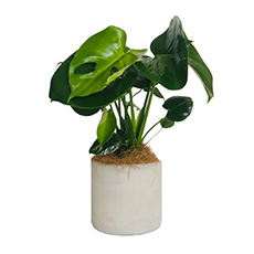 - Interflora Perfect Monstera Pot