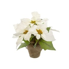 Christmas Flowers - Poinsettia Potted Burlap Wrapped 5 Flowers White (26cmH)