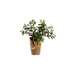 Mistletoe Mini Plant in Paper Wrap Green (16.5cmH)