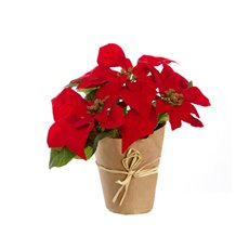 Poinsettia Potted 5 Flowers Red (33cmH)