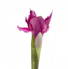 Artificial Iris - Iris Stem Dark Pink (70cmH)