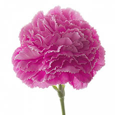 Artificial Carnation - Carnation Ruffle Stem Hot Pink (42cmH)