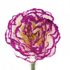 Artificial Carnation - Carnation Ruffle Stem Cream Purple (42cmH)