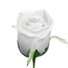 Artificial Roses - Siena Rose Bud Large Real Touch White (75cmH)
