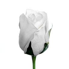 Artificial Roses - Siena Rose Bud Real Touch White (73cmH)