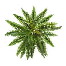 Hanging Boston Fern Bush Green (90cmD)