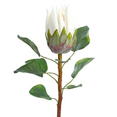 Australian & Native Flowers - Native Protea White (68cmH)