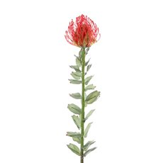 Australian & Native Flowers - Native Leucospermum Red (70cmH)