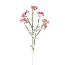 Australian Native Geraldton Wax Flower Pink (67cmH)