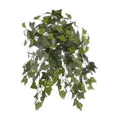 English Ivy Hanging Bush x24 Green (67cm)