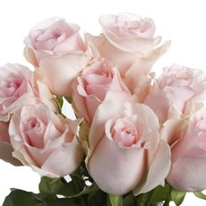 Imported Premium A Fresh Rose Bunched 10 Titanic (50cm)