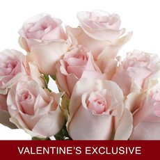 Imported Platinum Fresh Rose Bunched 10 Titanic (60cm) VAL