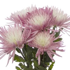 Fresh Chrysanthemum Disbud Spider (Bunch 5) Pink