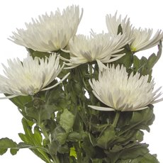 Fresh Chrysanthemum Disbud Spider (Bunch 5) White