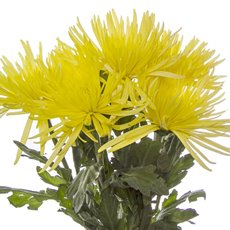 Fresh Chrysanthemum Disbud Spider (Bunch 5) Yellow