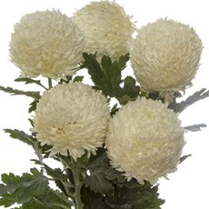 Fresh Chrysanthemum Big Mum (Bunch 5) White