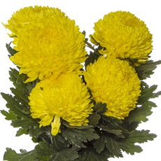 Fresh Chrysanthemum Big Mum (Bunch 5) Yellow