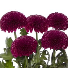 Fresh Chrysanthemum Disbud PomPom (Bunch 5) Purple