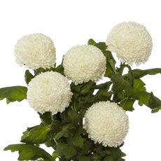 Fresh Chrysanthemum Disbud PomPom (Bunch 5) White