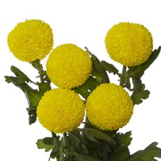 Fresh Chrysanthemum Disbud PomPom (Bunch 5) Yellow