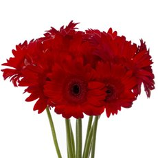 Fresh Gerbera (Bunch 9) Red