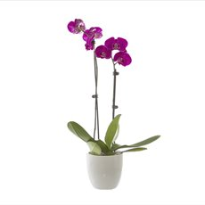 Fresh Phalaenopsis Orchid 2 Stem Ceramic Pot Purple (60cm)