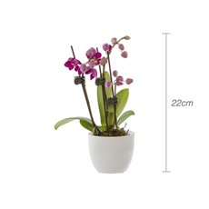 Fresh Phalaenopsis Orchid Micro in Ceramic Pot (22cmH)