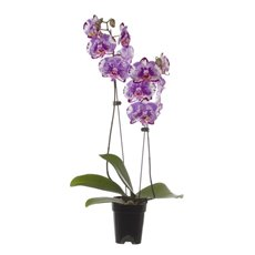 Fresh Phalaenopsis Orchid Raw 2 Stem Purple (60cm)