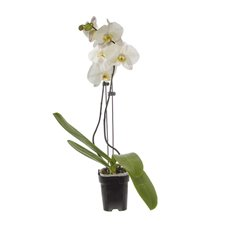 Fresh Phalaenopsis Orchid Raw 2 Stem White (60cm)