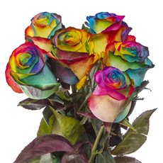 Fresh Roses - Fresh Rose Imported Premium Bunch 6 Rainbow (50cm)