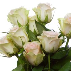 Fresh Rose Imported Intermediate Bunch 10 La Belle (40cm)