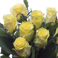 Imported Premium A Fresh Rose Bunched 10 Good Times (50cm)