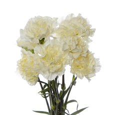 Other Fresh Flowers - Fresh Carnation Bunch Cream