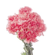 Other Fresh Flowers - Fresh Carnation Bunch Light Pink