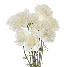 Other Fresh Flowers - Fresh Carnation Bunch White