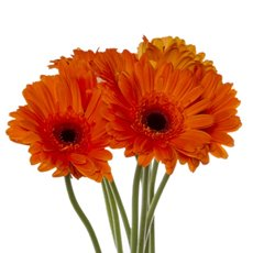 Other Fresh Flowers - Fresh Gerbera Mini (Bunch 9) Orange