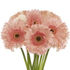 Other Fresh Flowers - Fresh Gerbera Mini (Bunch 9) Peach