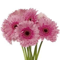 Other Fresh Flowers - Fresh Gerbera Mini (Bunch 9) Pink