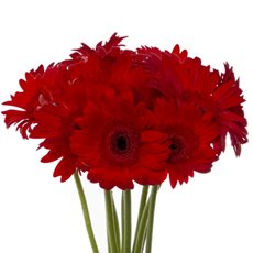 Other Fresh Flowers - Fresh Gerbera Mini (Bunch 9) Red