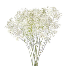 Other Fresh Flowers - Fresh Babys Breath Gypsophila White (70cmx200 gram)